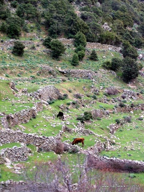 vaches-vallee-asco