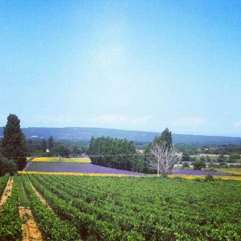 champs de lavandes et tournesol en fleurs, Valréas