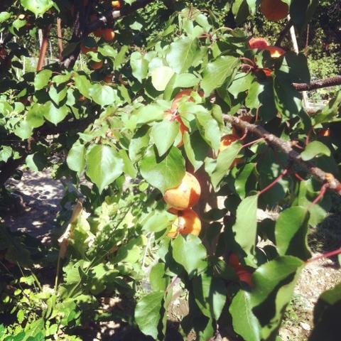 cueillette des abricots
