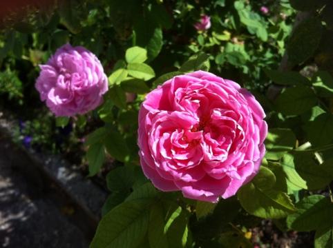 belle rose leonard de vinci