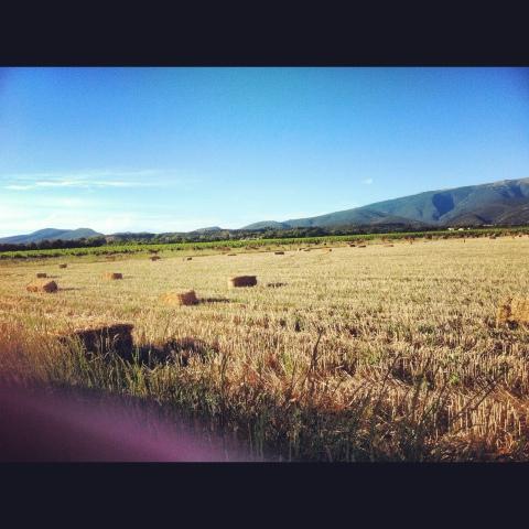 champs de blé à Valréas moissonée