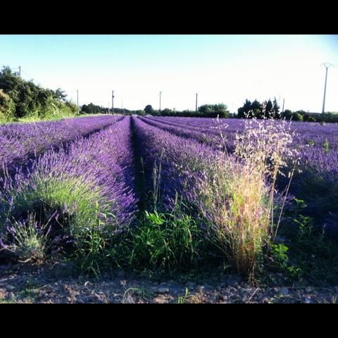 champs de lavandesen fleurs, Valréas