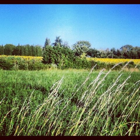 champs de tournesols à valreas