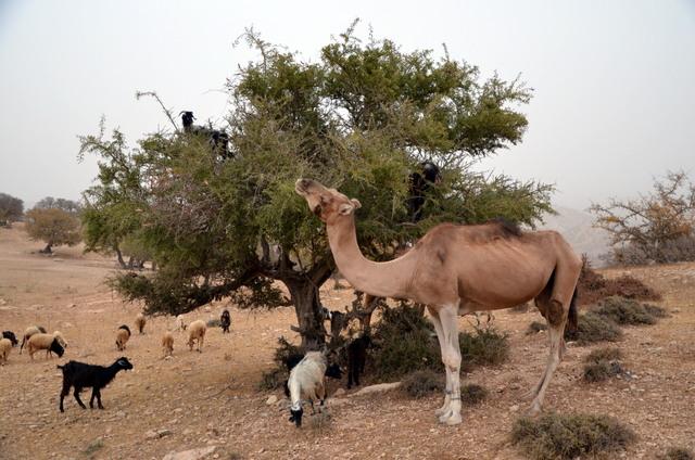 Un troupeau atypique sur la route d'Essaouira