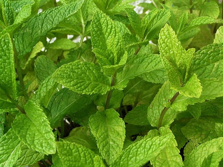 Comment conserver la menthe fra che coup e - Cultiver menthe en pot ...