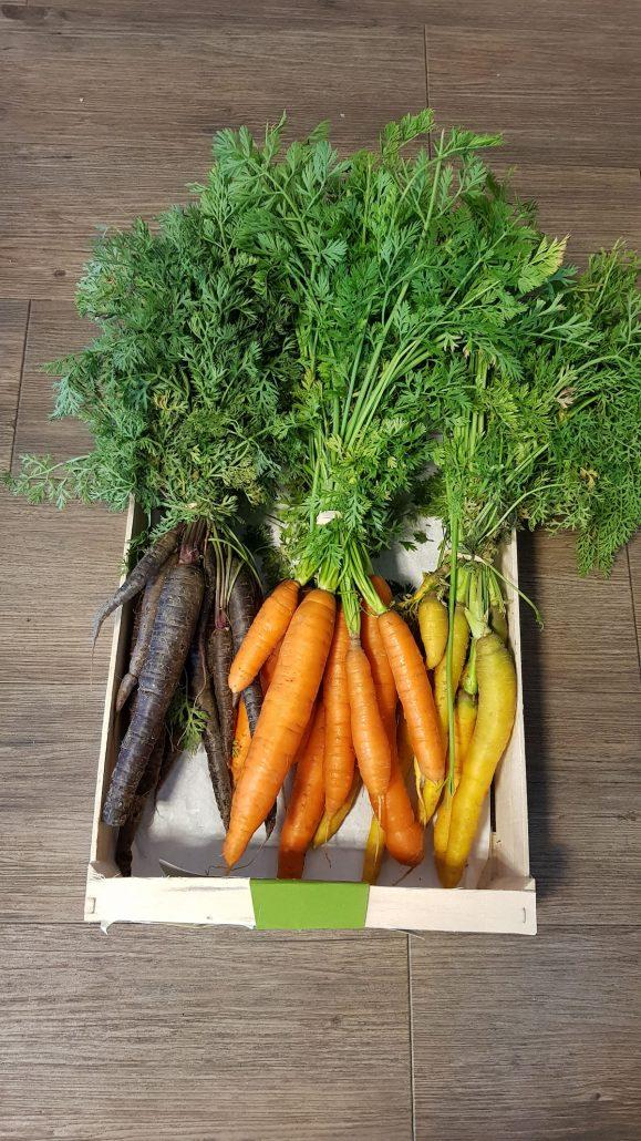 bottes de carottes de couleur avec fanes