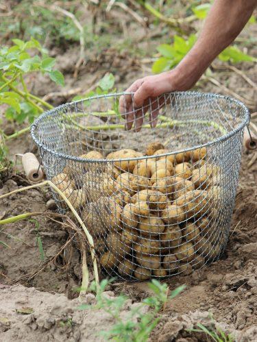 une panier en grillage pour conserver les pommes de terre