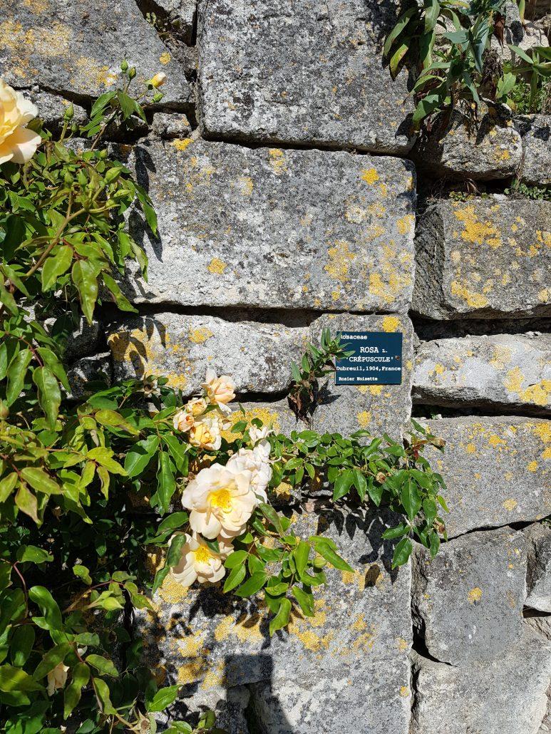 roses de grignan